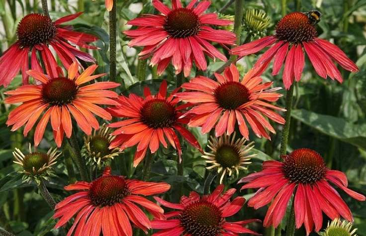 echinacea purpurea hot summer. Black Bedroom Furniture Sets. Home Design Ideas