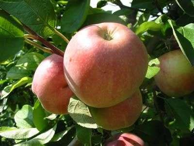 яблоня коричное полосатое фото