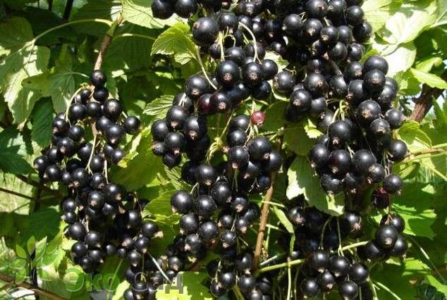 Смородина черная дар смольяниновой