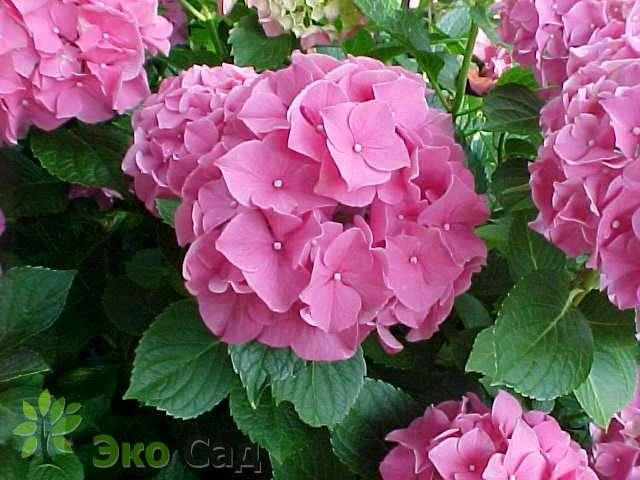Фото гортензия букет роуз