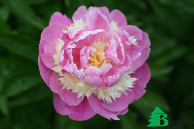 jade of peony essay The jade peony 1 as the story is largely based around the loss of someone dearly loved, we as readers can sympathize and connect with the narrator in our.