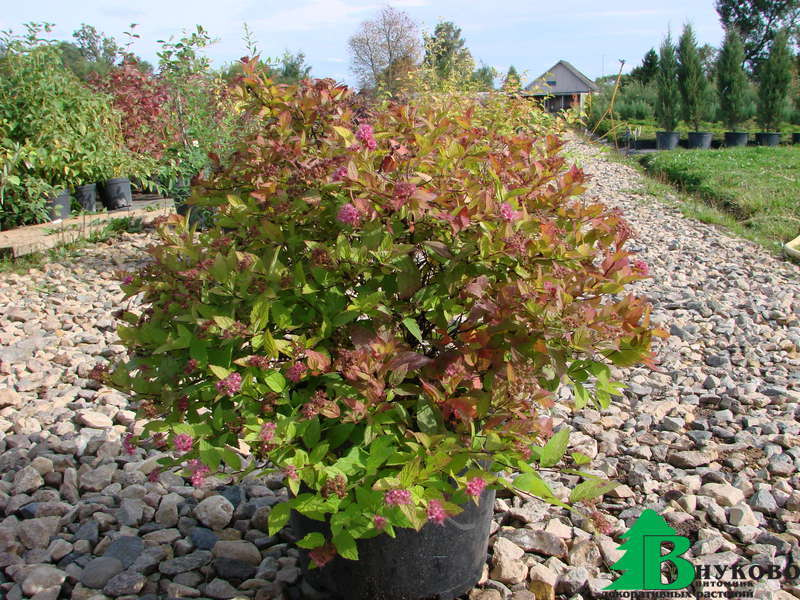 Spiraea Japonica Little Princess Spiraea Japonica Little
