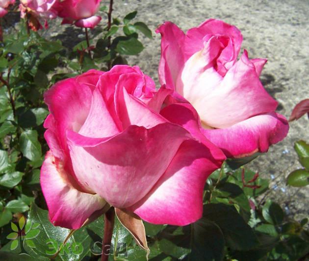 сорта гожар роза фото роз описание и