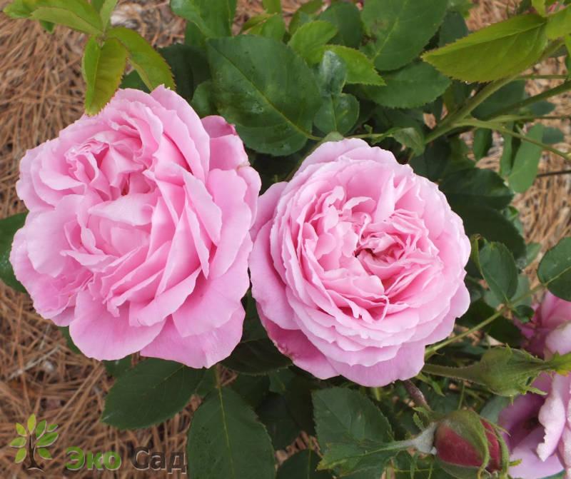Фредерик мистраль роза купить