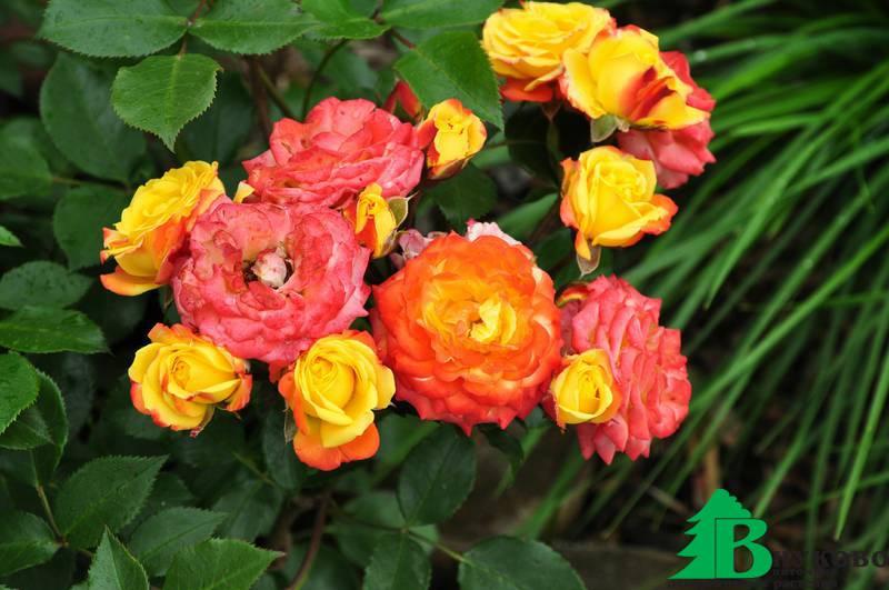 Роза румба флорибунда описание