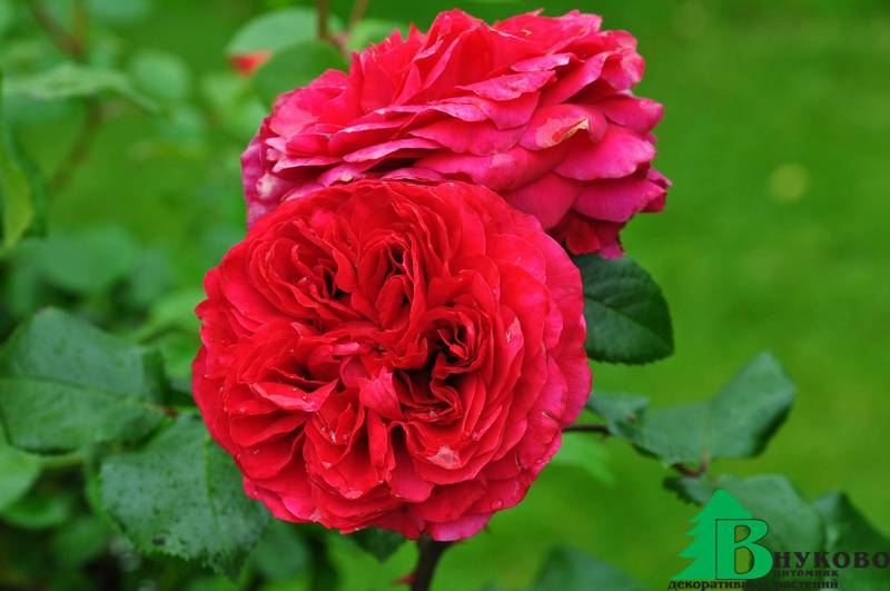 ред леонардо да винчи роза фото