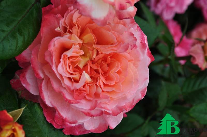 роза акварель фото и описание