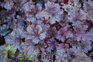 "Гейхера ""Плам Паддинг"" (Heuchera 'Plum Pudding')"